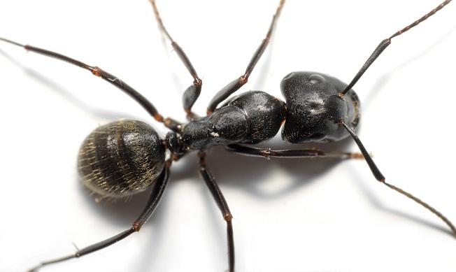 Ants control perth