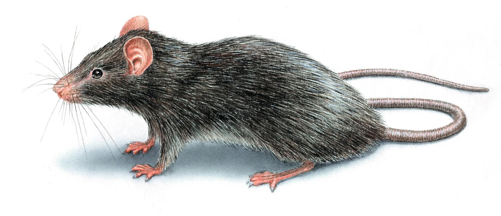 rats controls
