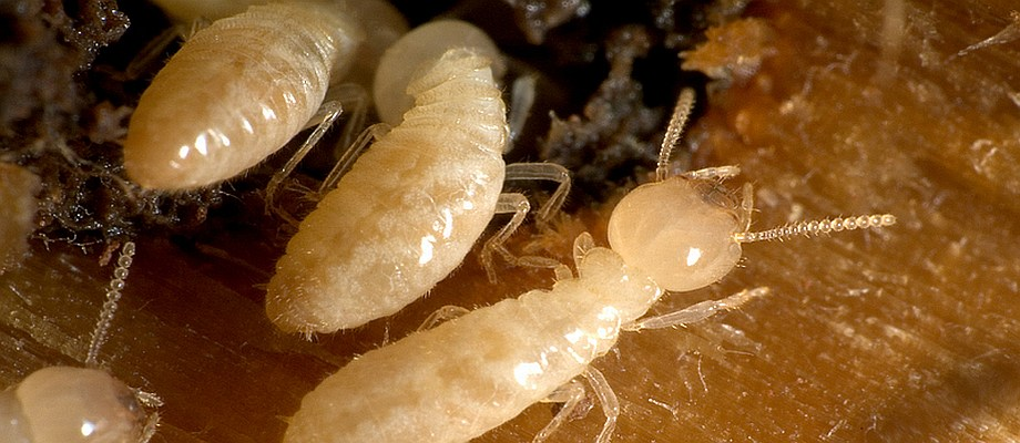 Termites inspections service