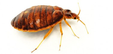 bed bug control services perth