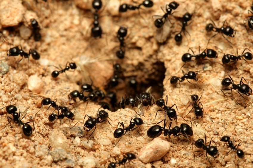 affordable ants control Perth