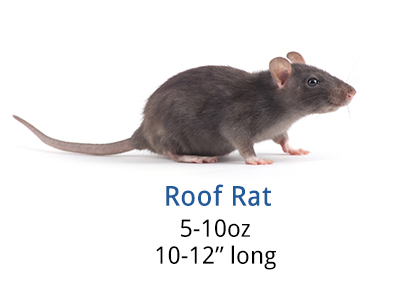 roof_rat