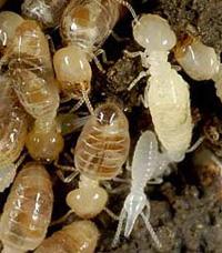 termite-exterminator-MD